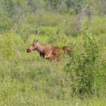 These moose were in a lot of photos today.