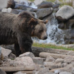 West Yellowstone – Finally a Grizzly?