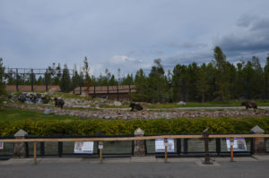 A wide shot of the enclosure, the keepers had just called the bears in. Food is next so they came running.