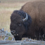 Yellowstone (4 of 5) – Bison