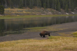 YellowstoneBison_020