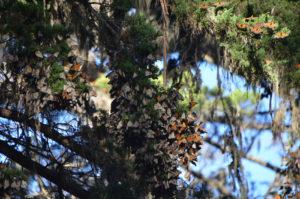 Monarchs_002